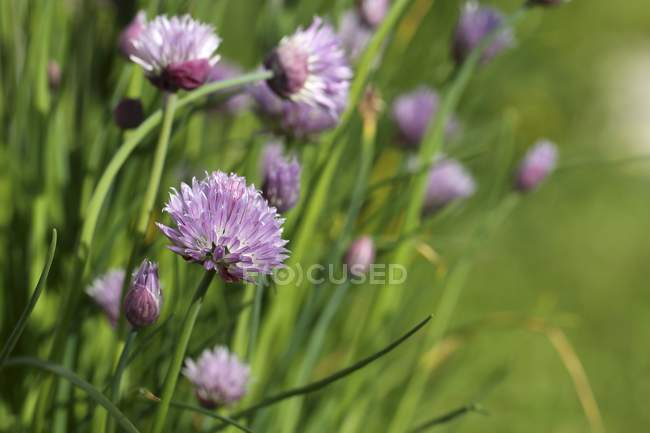 Chives growing in garden — Stock Photo