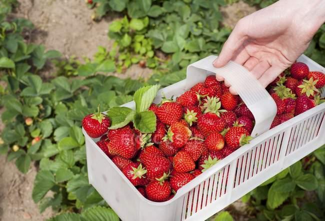 Mujer sosteniendo fresas en cesta - foto de stock