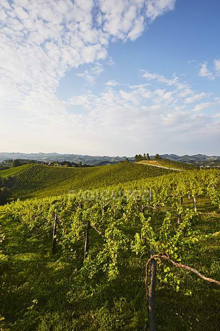 Daytime view of a green vineyard in Southern Styria, Austria — Stock Photo