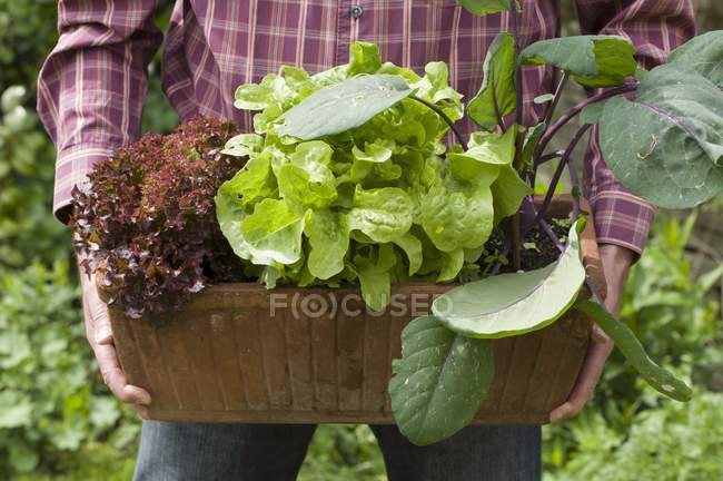 Woman holding Red and green lettuce — Stock Photo