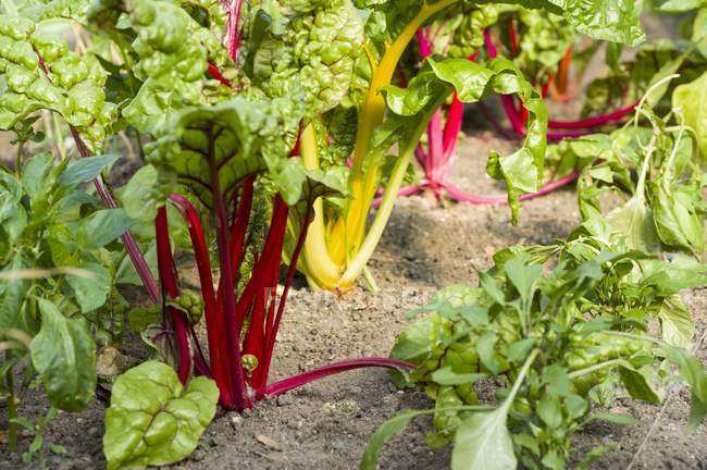 Colourful chard and young pepper plants — Stock Photo