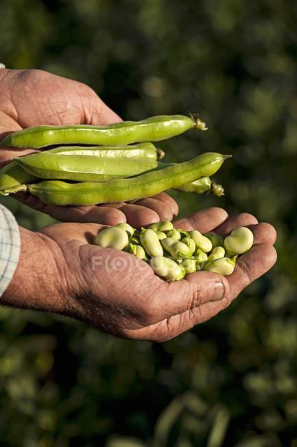 Farmer holding beans — Stock Photo