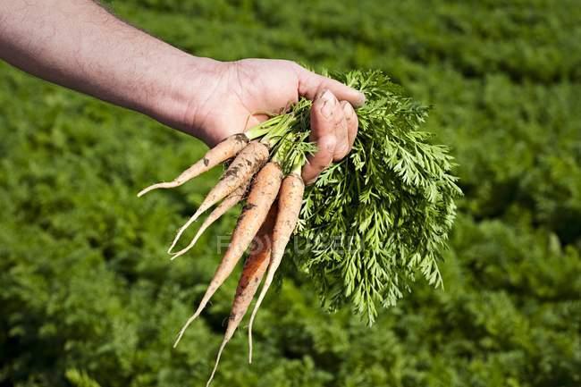 Farmer holding carrots — Stock Photo