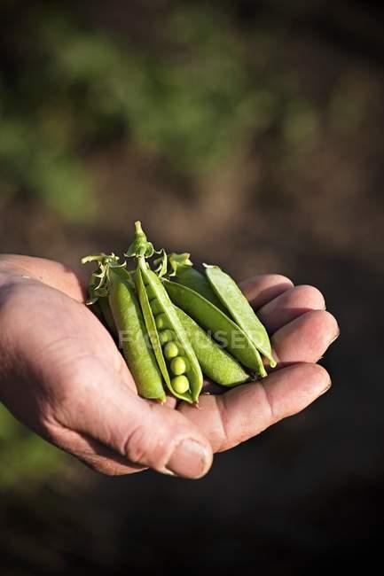 Farmer holding freshly harvested pea pods — Stock Photo