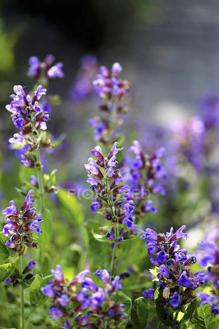 Closeup view of flowering Sage plants — Stock Photo