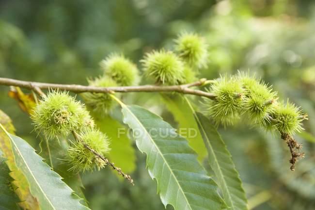 Vista de closeup de castanhas na árvore — Fotografia de Stock