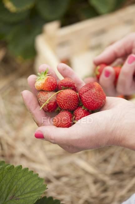 Mani femminili in possesso di fragole — Foto stock