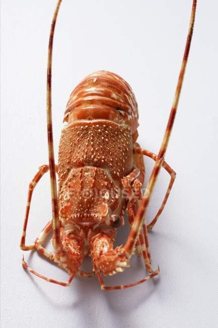 Vue rapprochée d'un homard épineux sur une surface blanche — Photo de stock