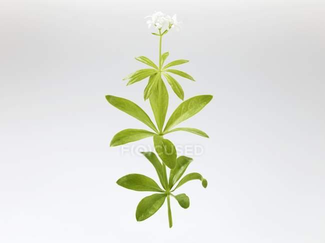 Rama Woodruff con flores sobre fondo blanco - foto de stock