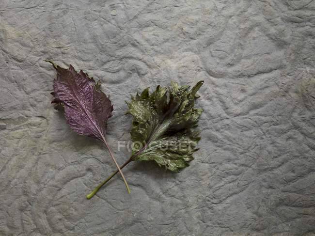 Closeup top view of two fresh Shiso leaves — Stock Photo