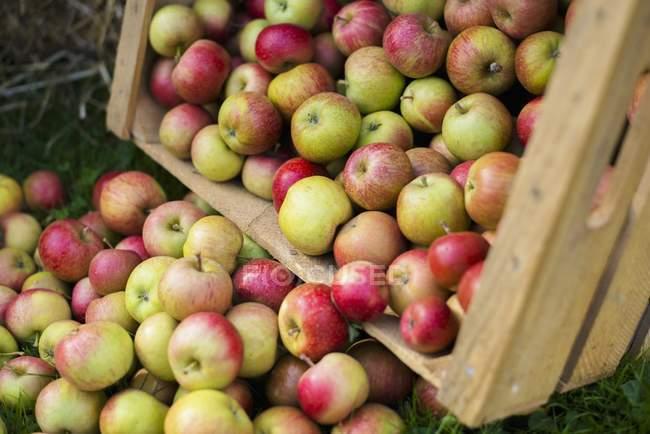 Freshly harvested apples — Stock Photo