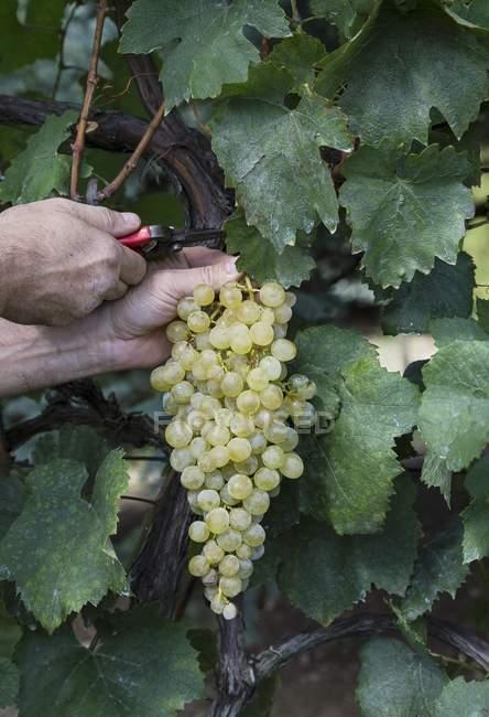 White wine grapes — Stock Photo
