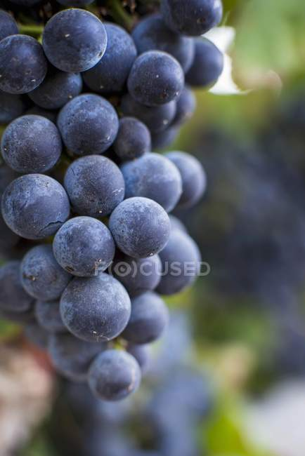 Black grapes on the vine — Stock Photo