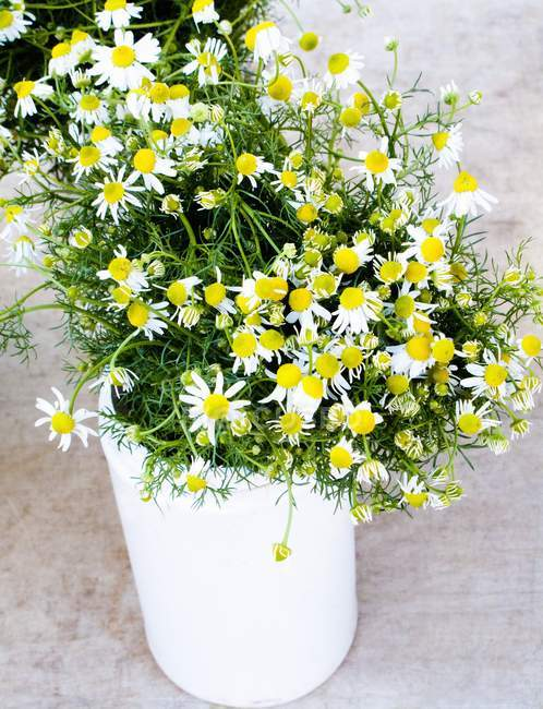 Elevated view of Chamomile flowers bouquet in pot — Stock Photo