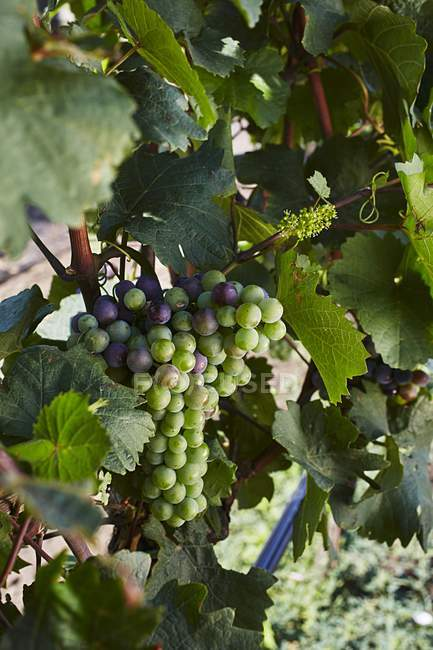 Grapes changing color on vine — Stock Photo