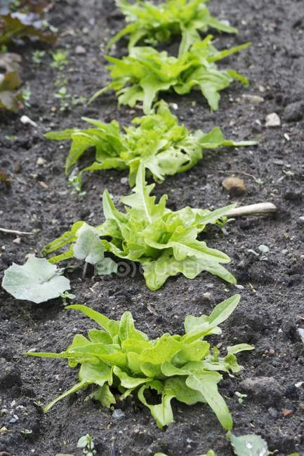 Plantas de alface que crescem no campo — Fotografia de Stock