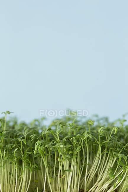 HerbsFresh green cress — Stock Photo