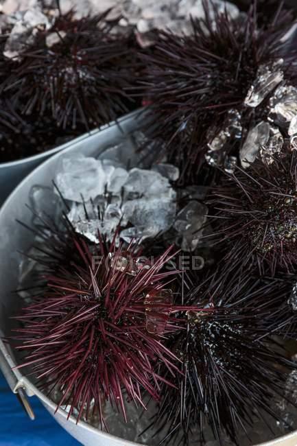 Closeup vista de ouriços do mar com gelo no balde — Fotografia de Stock