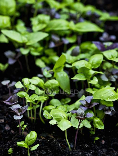 Young purple and green basil — Stock Photo