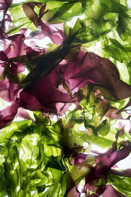 Detailansicht der bunten Algen im Wasser schwimmende — Stockfoto