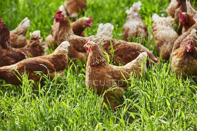 Vista di giorno di galline ruspanti in erba verde — Foto stock