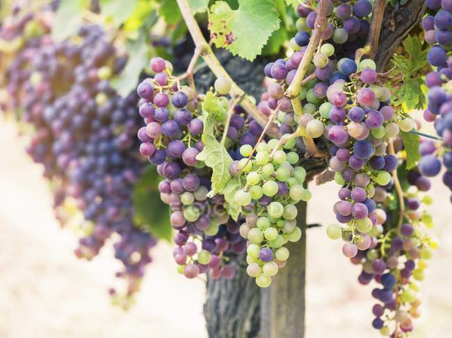 Red grapes on vine — Stock Photo