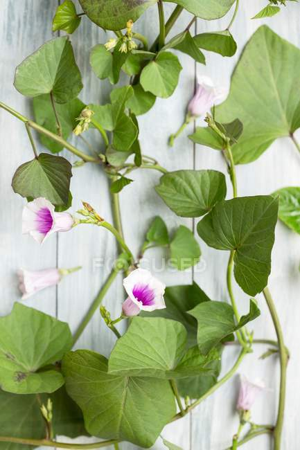 Sweet potato leaves and flowers on wooden surface — Stock Photo