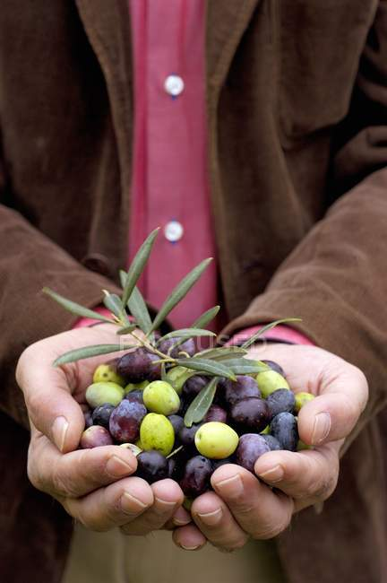 Hands presenting freshly harvested olives, midsection — Stock Photo
