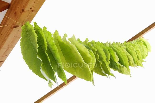 Vista de cerca de hojas de tabaco secado en una línea - foto de stock