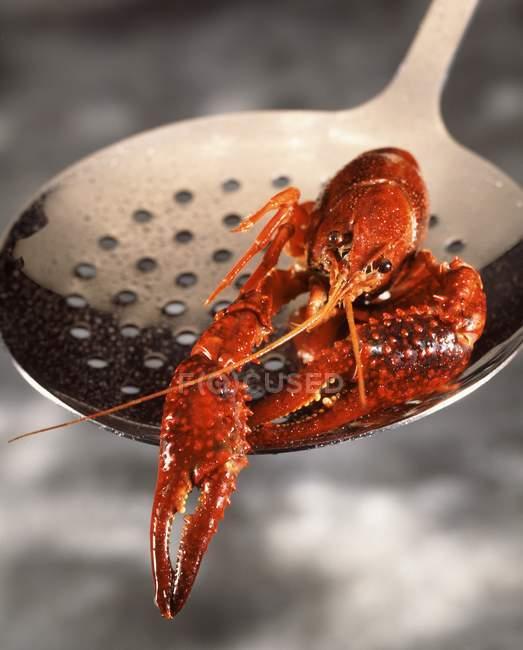 Vue rapprochée d'une écrevisse rouge sur écumeur — Photo de stock