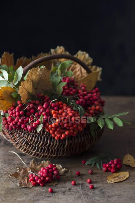 Rowan berries and autumn leaves — Stock Photo