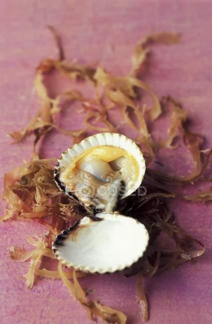 Detailansicht einer geöffneten Herzmuschel mit Algen — Stockfoto
