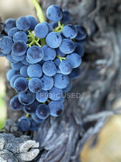 Black grapes on the vine ready to be picked — Stock Photo