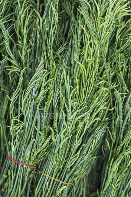 Крупним планом подання Cha-om дерева листя пучки — стокове фото