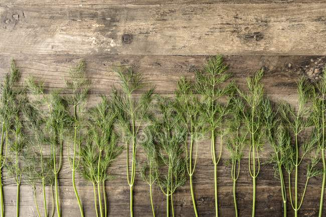Row of fresh dill stems — Stock Photo