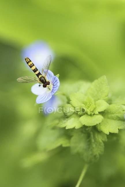Vue d'insecte collecte de nectar sur les fleurs — Photo de stock