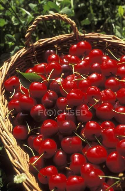 Fresh picked cherries — Stock Photo