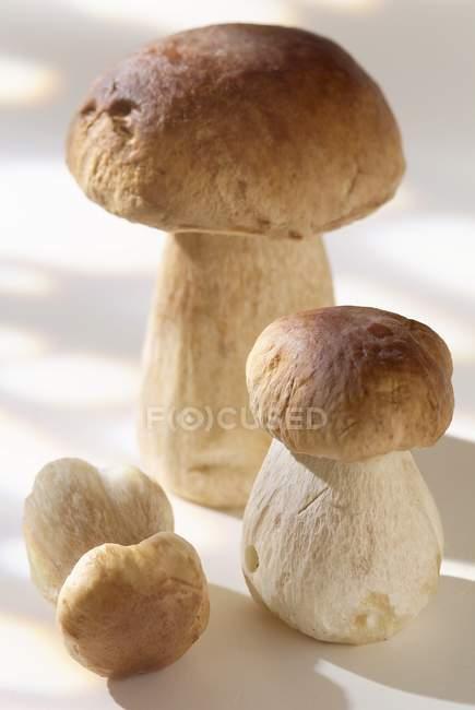 Frische Cep Pilze — Stockfoto
