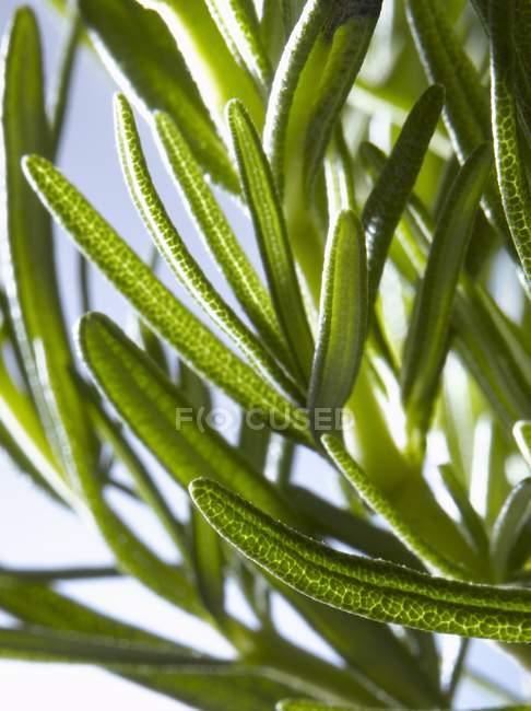 Ramita de romero fresco verde - foto de stock