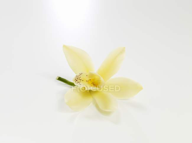 Closeup view of vanilla blossom on a white surface — Stock Photo
