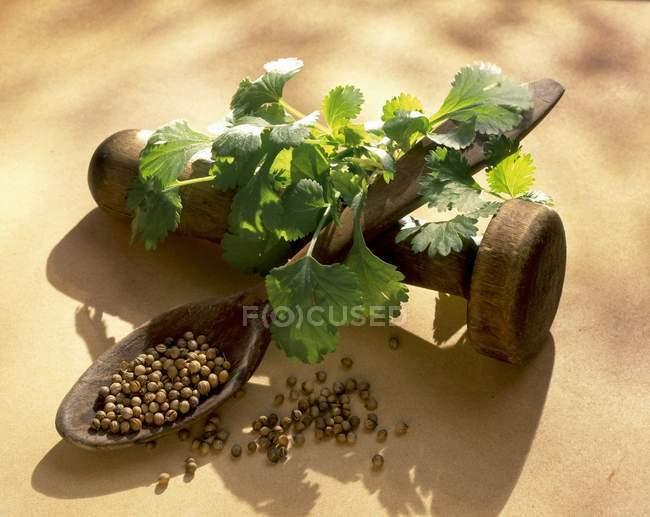 Frescas de coentro e sementes — Fotografia de Stock