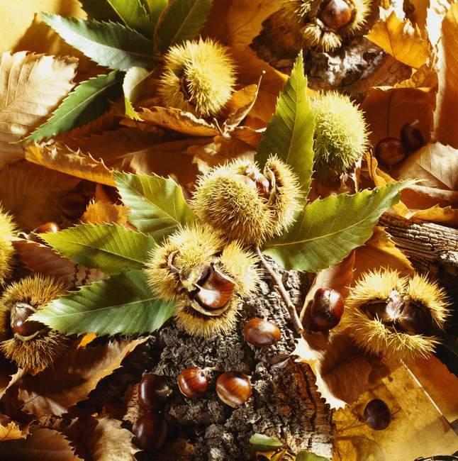 Closeup vista de castanhas com folhas e casca — Fotografia de Stock