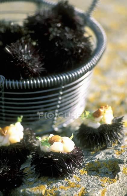 Vue rapprochée des oursins avec pétoncles par panier métallique — Photo de stock