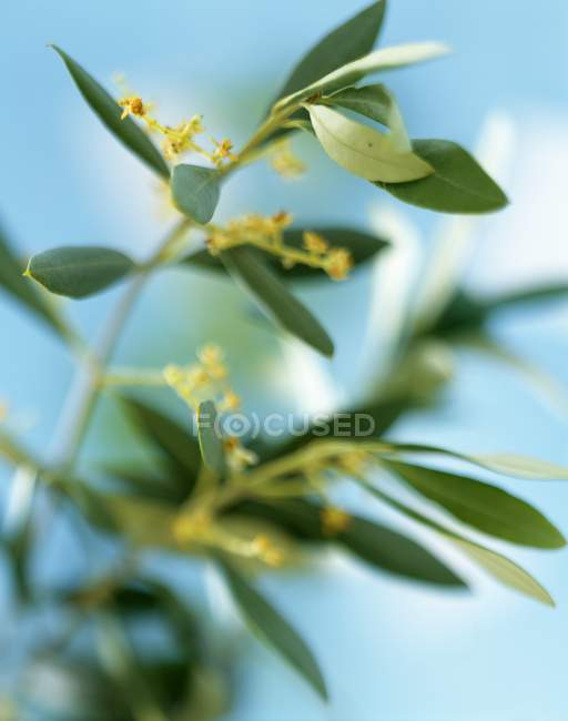 Closeup view of flowering olive branches — Stock Photo