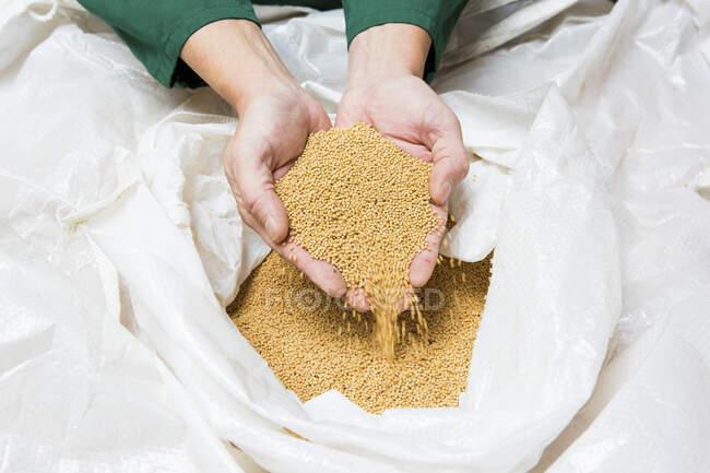 Manos recogiendo semillas de mostaza de un saco de plástico - foto de stock