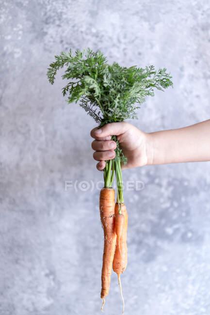 La mano de un niño sosteniendo zanahorias frescas - foto de stock