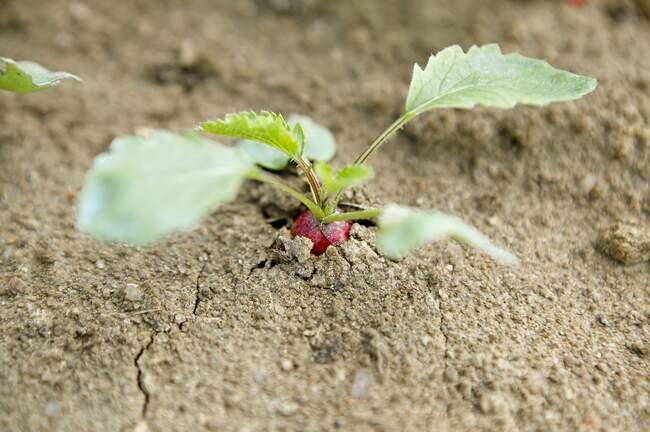 Un rábano creciendo en la tierra - foto de stock
