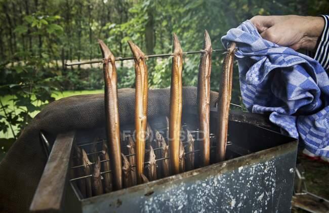 Anguilas que se fuman vista de cerca - foto de stock
