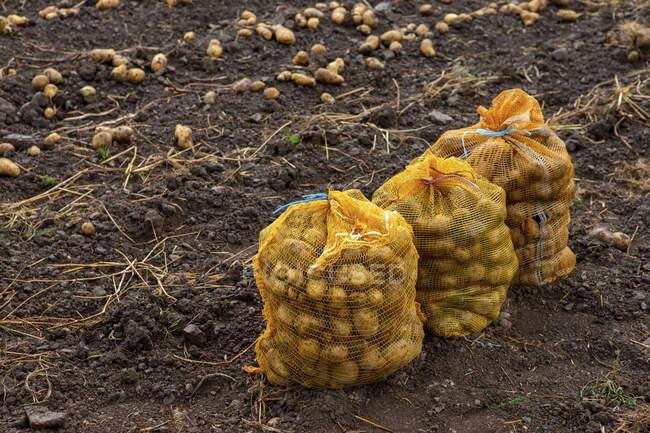 La cosecha de patatas: los sacos de las patatas en el campo - foto de stock