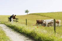 Men leaning over fence by cows — Stock Photo